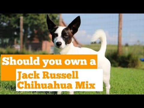 Jack Chi Jack Russell Chihuahua Mix A Small And Active