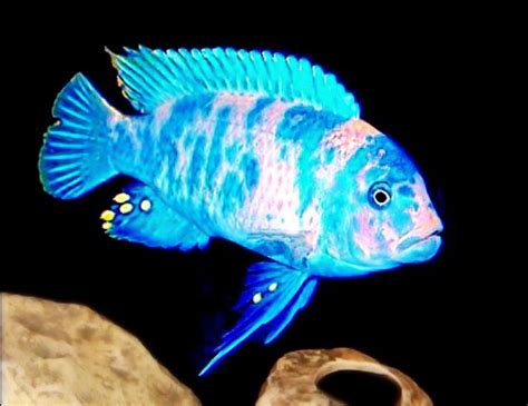 1015 best images about Cichlids on Pinterest | Peacocks