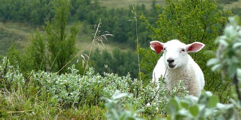 What does sheep grazing do to the mountains?