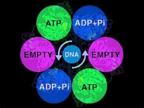 DNA Helicase structure and function
