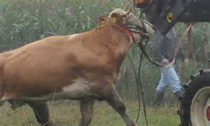 Yvonne the fugitive cow surrenders after 98 days on the